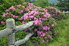 Rhododendron Fence