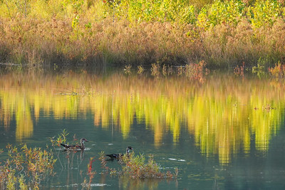 Wood ducks and late Summer reflections