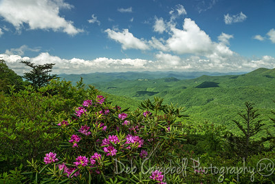 Blooming Catawba Rhododendron and the Blue Ridge Mountains