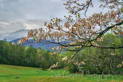 Dogwood tree at the Gap