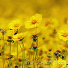 A gorgeous field of Lance Leaf Coreopsis<br /> also known as Tickseed<br /> Blooming in Spring City, Tennessee