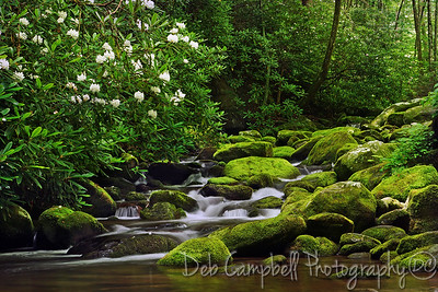 Rosebay Rhododendron Cascade Roaring Fork Motor Nature Trail Great Smoky Mountains National Park