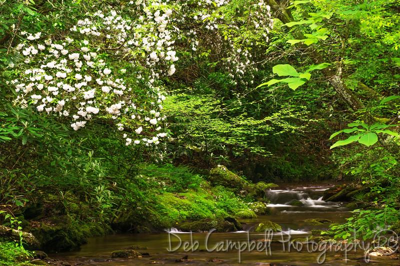 Blooming Mountain Laurel