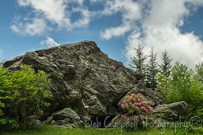 Blooming Catawba Rhododendron along the Blue Ridge Parkway