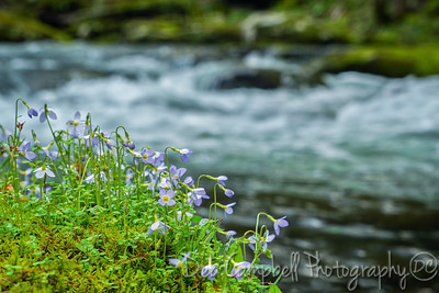 Bluets by the Stream