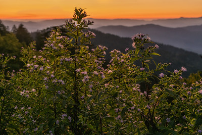 Wood Aster at Sunrise