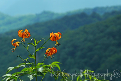Turks Cap Lilies Blooming along The Blue Ridge Parway
