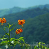 Turks Cap Lilies Blooming along<br /> The Blue Ridge Parway
