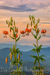 Turks Cap Lily at Sunrise