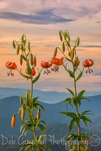 Turks Cap Lily at Sunrise