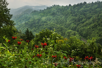 Crimson Bee Balm blooming along Clingman's Dome Road Great Smoky Mountains National Park
