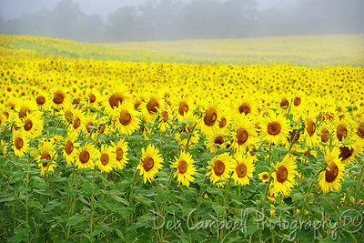 Sunflowers for Days