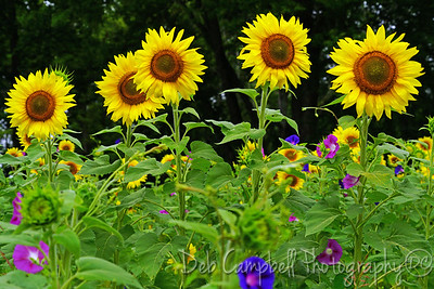 Sunflowers and Morning Glory
