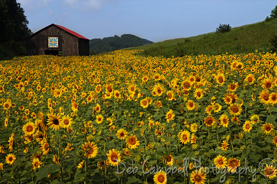Quilt Barn in Sunflower Field Seven Islands Wildlife Refuge Kodak, Tennessee