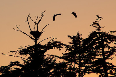Bald Eagles, Chesterman Beach, Vancouver Island, Canada