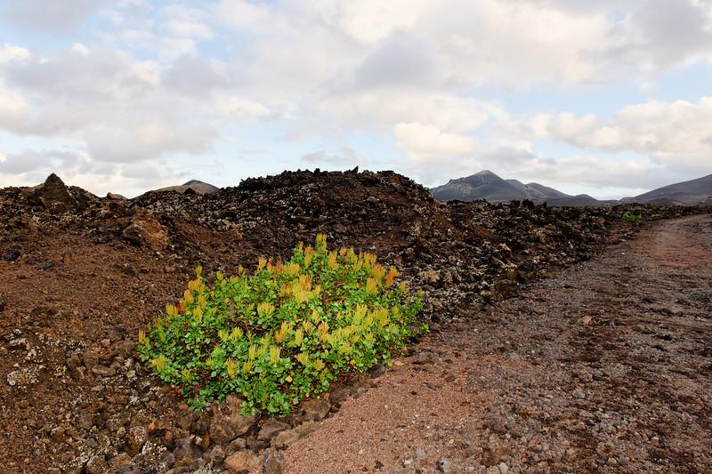 Bush, Lanzarote