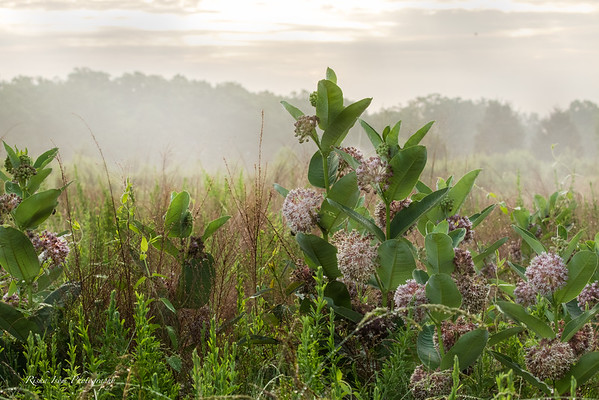Misty Morning Milkweed