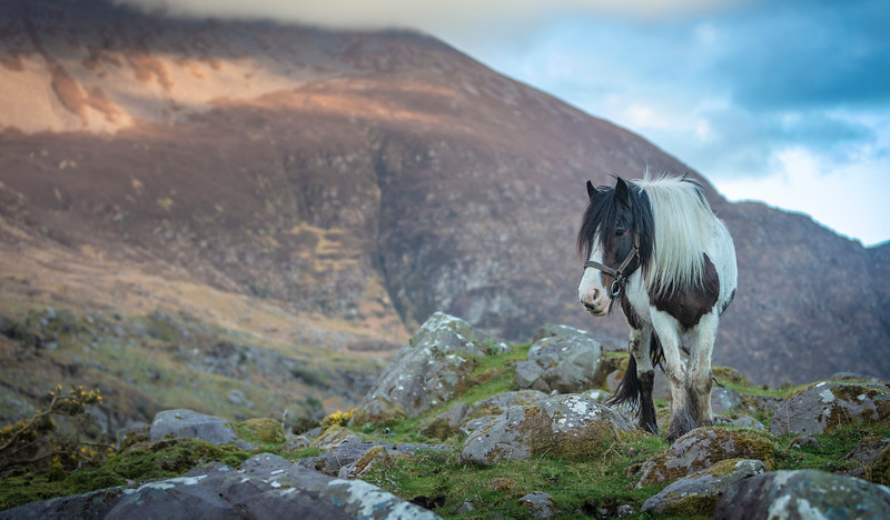 Kerry's horses..  The  shot near the Black Valley , Kerry, Ireland.