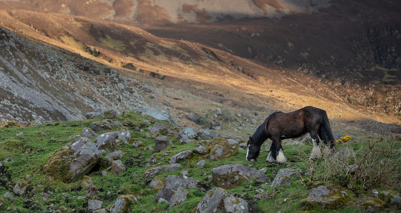 Kerry's horses at  sunset.  Kerry, Ireland