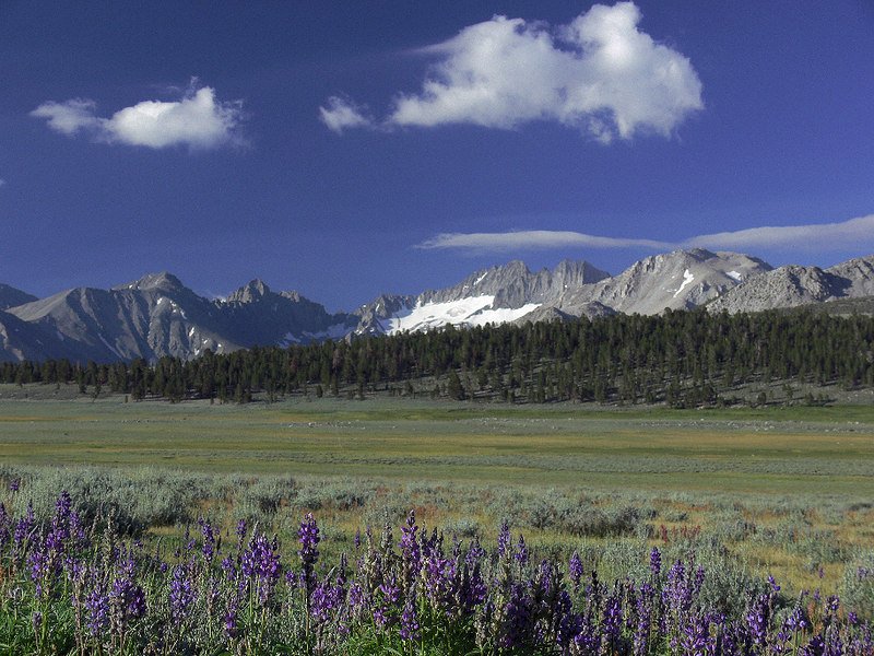 The Palisade Glaciers, Coyote Flat and Inyo Meadow Lupine, near Bishop, CA.