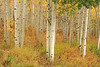 Colorado Aspens