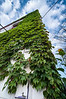 Ivy, Kent, OH, 8-31-2013