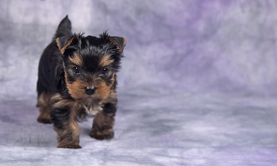 All Yorkie