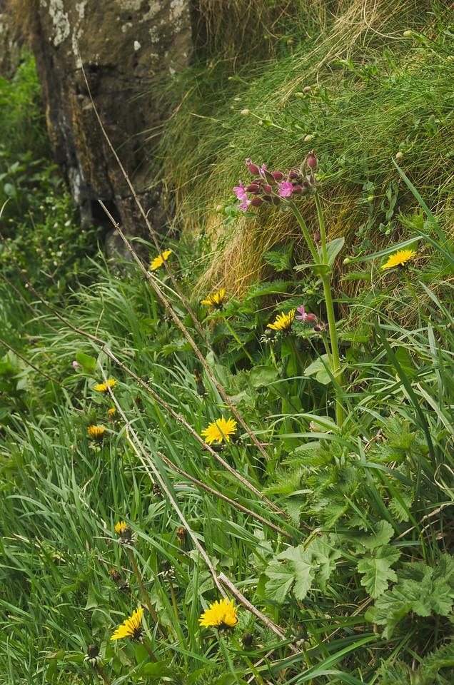 Dunluce Castle flora