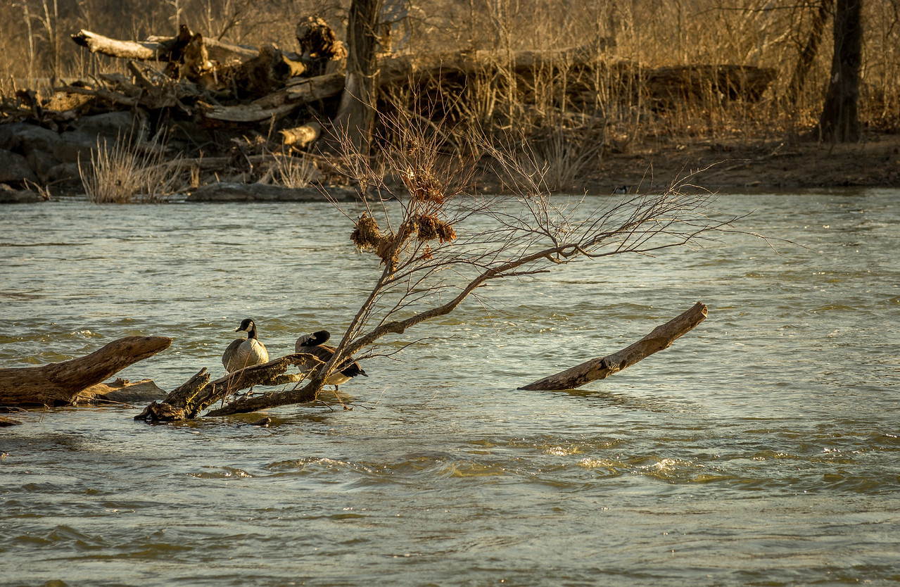 Ducks at Great Falls