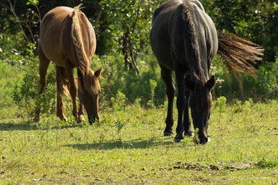 Wild Horses of Corolla, NC.  Decended from Spanish Colonial domestic horses of the 16th century.