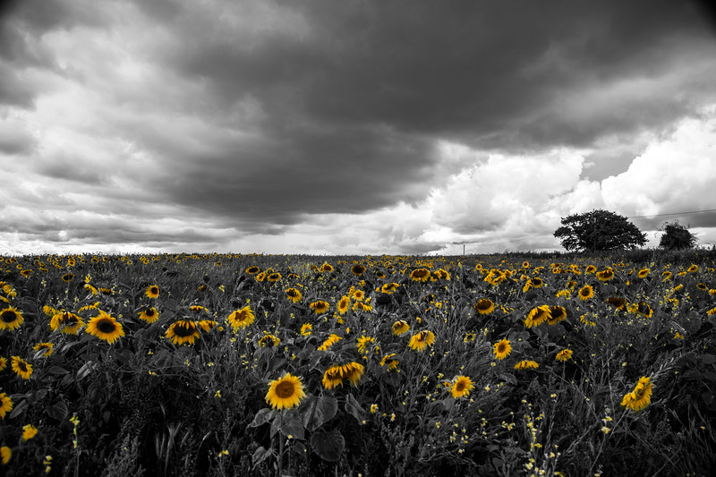 Sunflower Storm 235/365