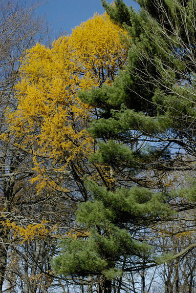Pine and Larch - Salisbury Park trees in Fall, Worcester, MA