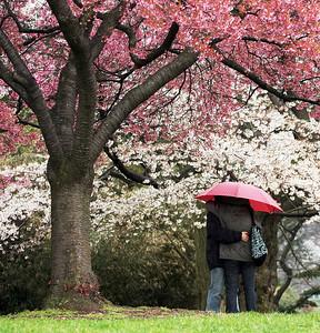 Cherry Blossom Romance
