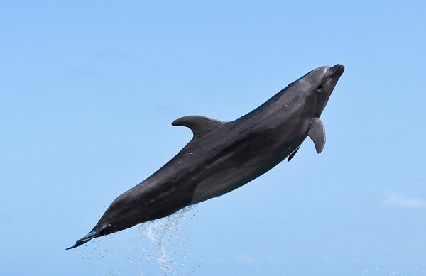 Flying Dolphin
