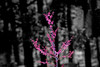 07 March 2009 Landscapes - Redbud Tree (topaz simplify buzsim b&w background)