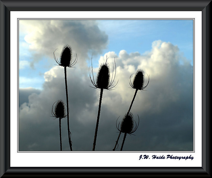 Teasel Sky - At the Tualatin River National Wildlife Refuge near Sherwood, Oregon