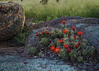 Flowerin Cacti