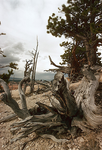 Bristlecone Pines, Bryce Canyon National Park, Utah,desert