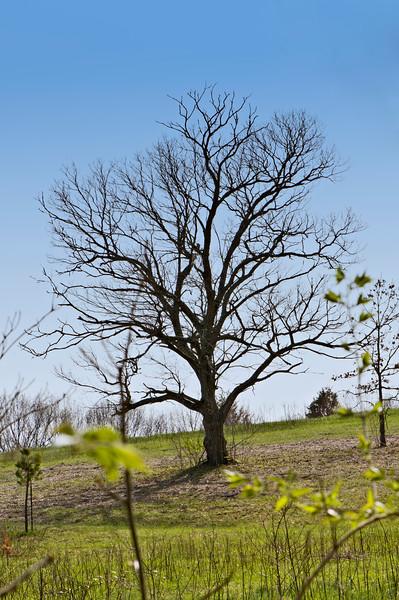 117 Shaw Garden 4-20-2008 - Tree In Field