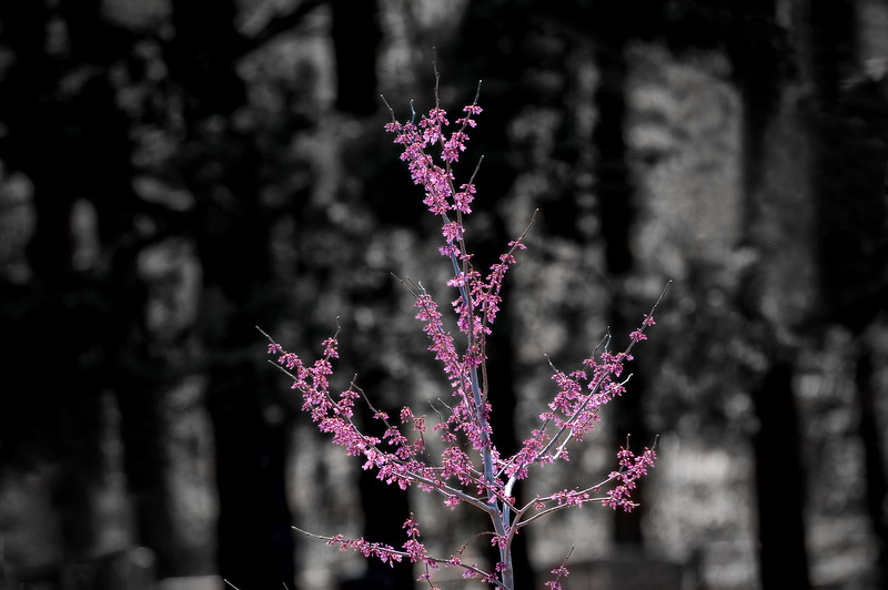 07 March 2009 Landscapes - Redbud Tree (b&w background)