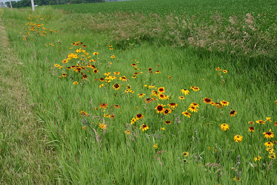 Roadside Flowers, Iowa, July 2006