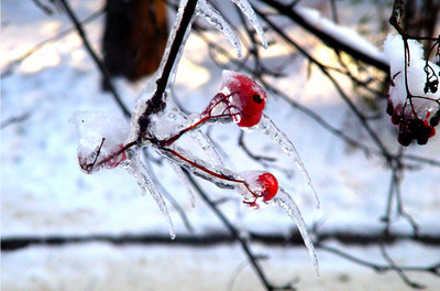 Ashberry in icicle