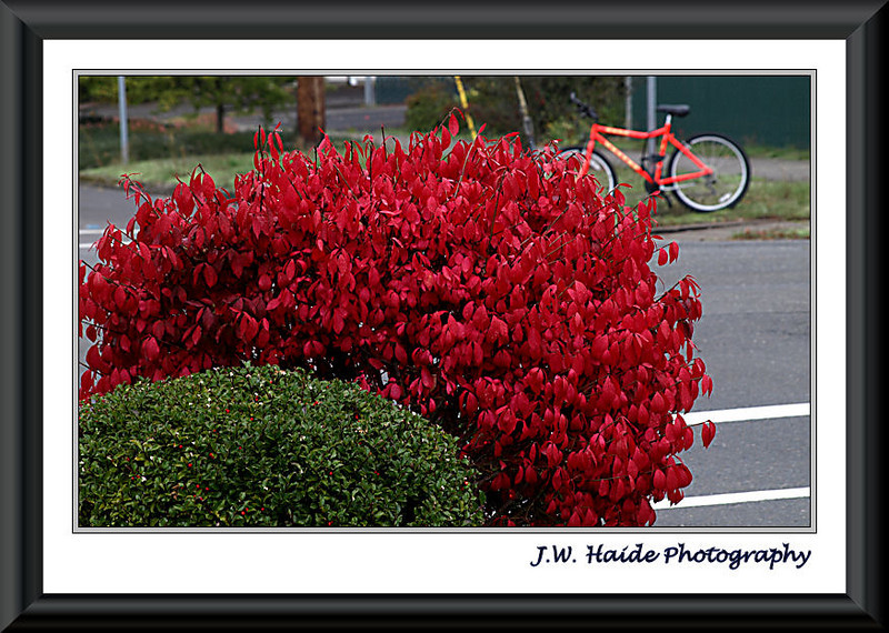 Green on Red Shrubs