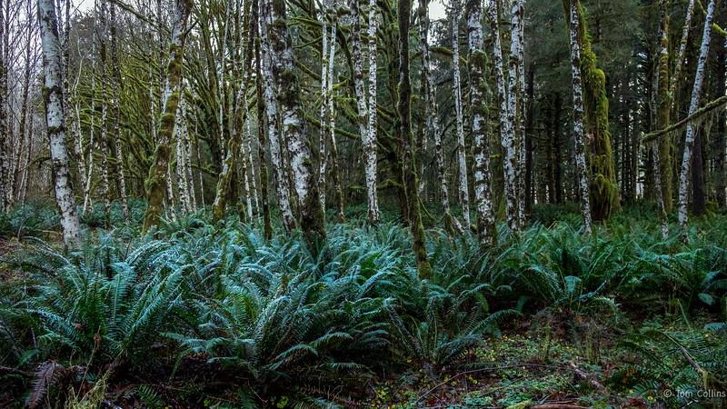 Quinault Rain Forest quinault-10