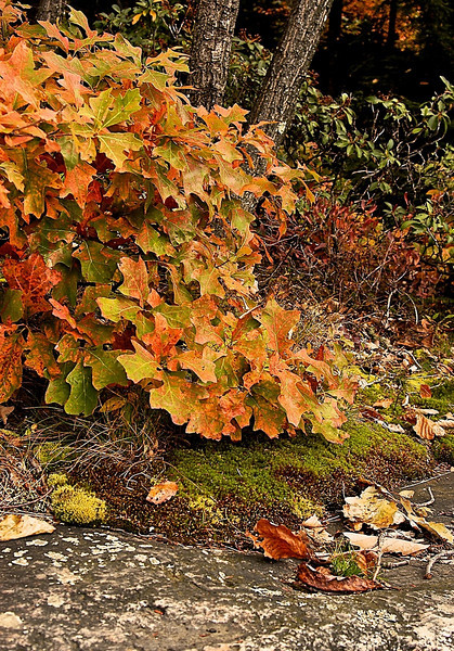 Scrub Oak, Moss, and Granite, New York