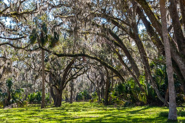Live Oaks and Spanish Moss at Princess Place Preserve