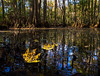 Cypress Swamp with Fallen Sweetgum Leaves