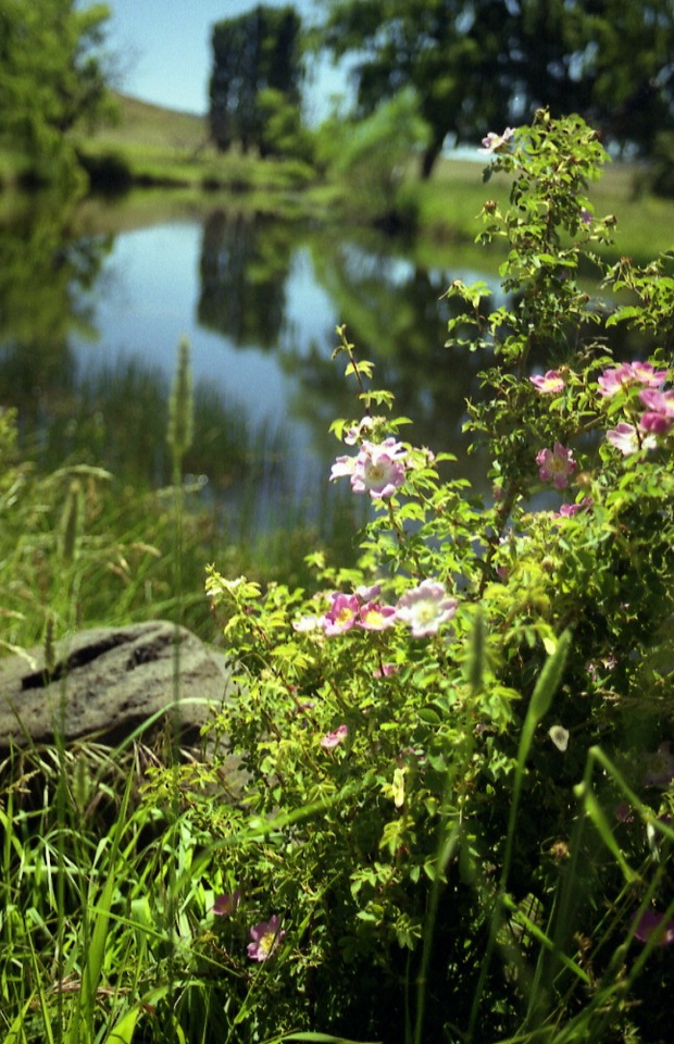 wild roses bobundra creek