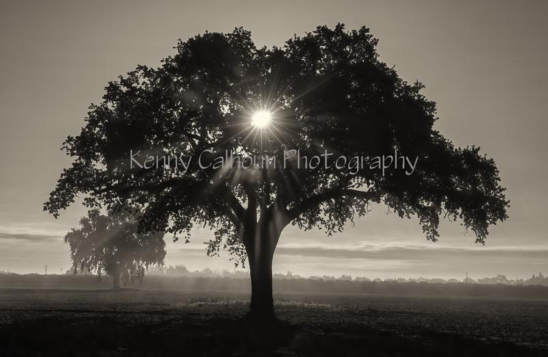 4-10 Yolo Oak Tree-2