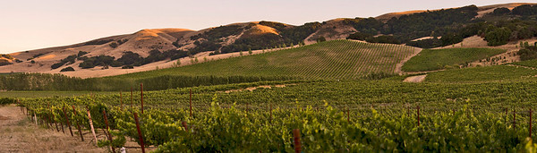 Cline Vineyard Panorama